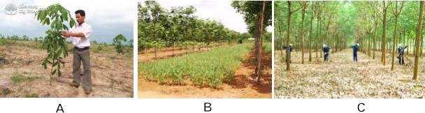 Hình 6: (A) Chăm sóc cao su mới trồng; (B) Trồng cây che đất cho vườn cao su kiến thiết cơ bản; (C) Xới đất, bón phân cho vườn cao su.