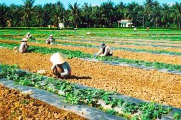 Chăm sóc dưa hấu sau trồng.