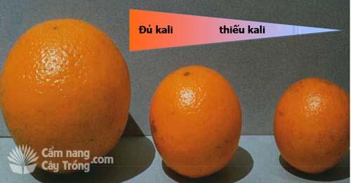 Chất lượng trái cây theo kali