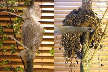 Chiết và cắt cành chiết sau khi mai ra rễ