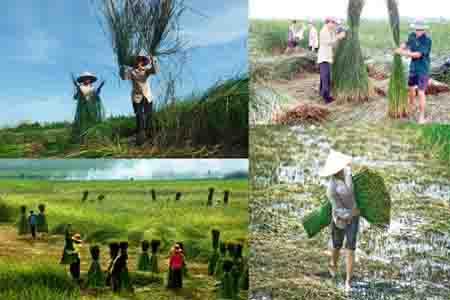 Nghề làm cói ở Thái Bình