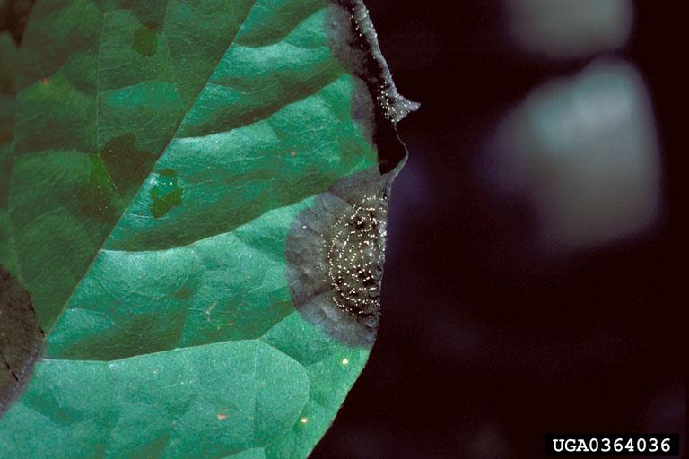 Colletotrichum acutatum 1