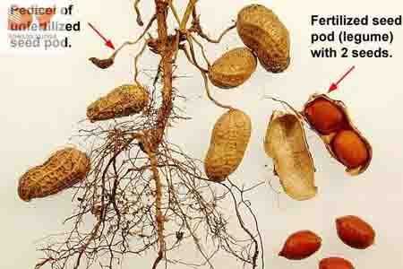 Cẩm nang cây trồng giới thiệu về cây lạc (đậu phộng) - củ lạc