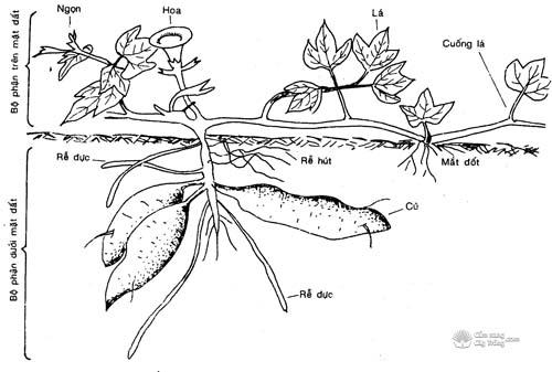 Hình thái cây khoai lang
