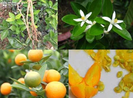 Rễ, lá, hoa, quả và hạt cây quất
