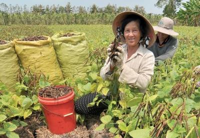 Dân cà mau thu hoạch đậu xanh dù đất khô hạn