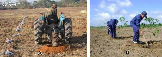 Hình 3: (A) Đào hố trồng cao su; (B) Bón lót + trồng cao su.