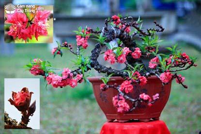 Đào thất thốn, nụ hoa và hoa đào thất thốn