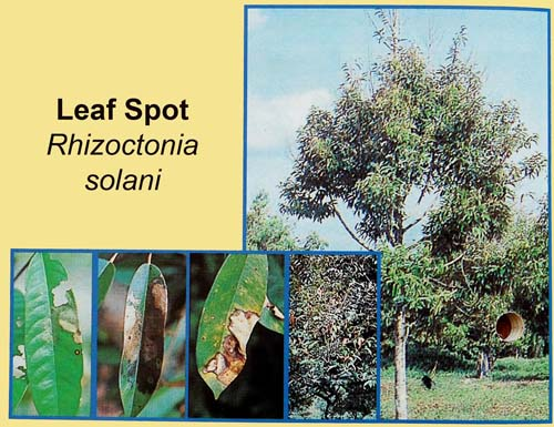 Cây sầu riêng bị nấm Rhizoctonia Solani tấn công