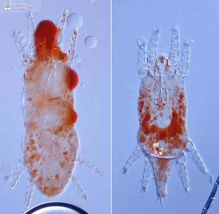 Dolichotetranychus floridanus nhện đỏ đực và cái