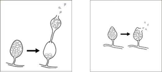 Du động bào tử Pythium