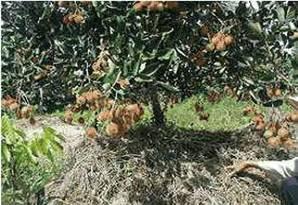 Dùng cỏ khô phủ gốc giữa ẩm cho cây