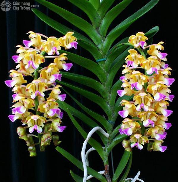 Giáng hương quế nâu - Aerides houllettiana