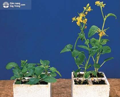 Gibberellin kích thích ra hoa và phân hóa giới tính hoa