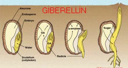 gibberelin kích thích hạt nảy mầm