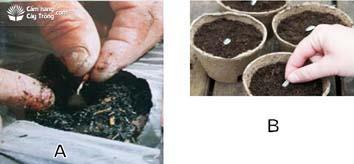 (A) Gieo thẳng hạt giống ra đồng; (B) Gieo hạt vào bầu.