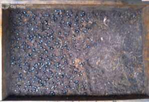 Gieo hạt mai vàng vào khay