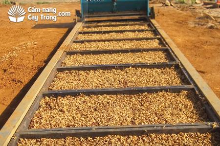 Hạt giống đủ tiêu chuẩn được máy gieo vào khay