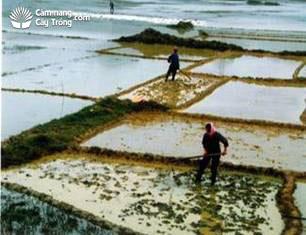Cuốc đất để gieo mạ
