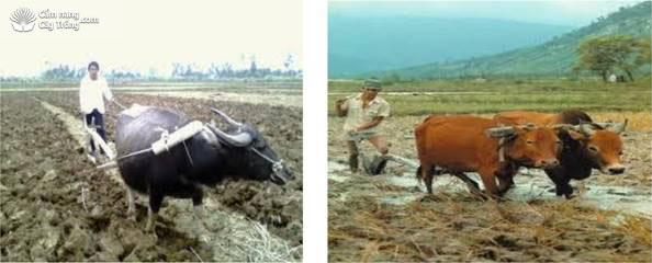 Cày đất bằng trâu, bò để gieo mạ