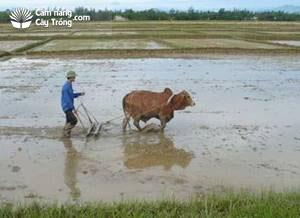 Bừa lại đất sau khi bón phân chuồng lần 1