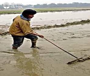 Dùng cào răng trộn phân vào đất