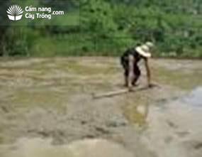 Dùng cây khỏa vùi phân vào đất