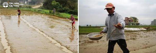 Gieo đều mống mạ trên ruộng ướt