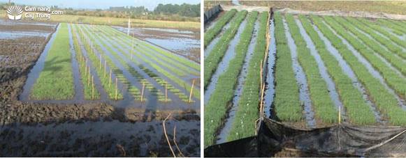 Dẫn nước vào ruộng để duy trì độ ẩm cho mạ