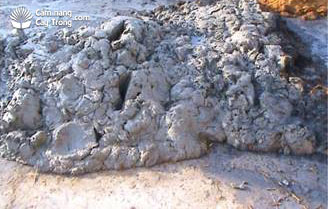 Mang bùn tới nơi gieo mạ