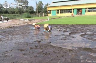 Tưới nước và san phẳng vật liệu trước khi gieo