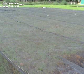 Mạ gieo được đậy lưới đến 5 ngày