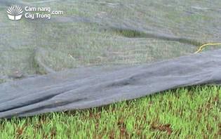 Mở lưới sau gieo 5 ngày