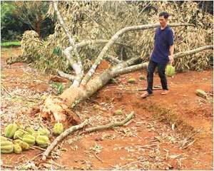 Gió lớn, cây sầu riêng bị bật gốc