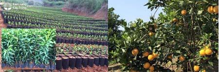 Cây cam giống và cây cam Vinh