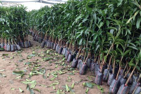Kỹ thuật trồng xoài thái cần đặc biệt chú ý tới khâu chọn giống