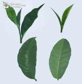 PT95茶品种