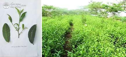 Phuc Van Tien茶品种