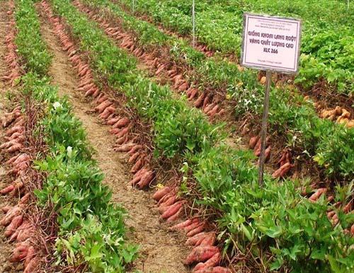 Ruộng trình diễn giống khoai lang ruột vàng chất lượng cao