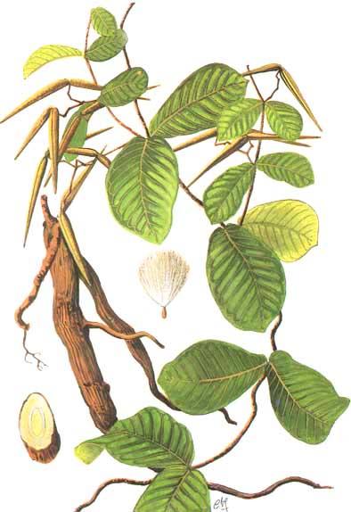 Đặc điểm thực vật học hà thủ ô trắng (bạch thủ ô)