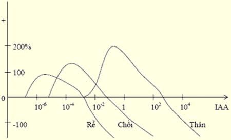 minh hoạ mối quan hệ giữa nồng độ auxin và sự sinh trưởng