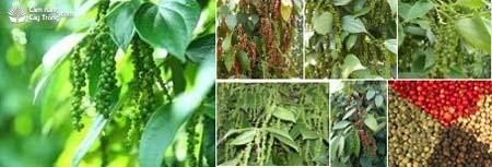 Hình ảnh tổng hợp cây tiêu