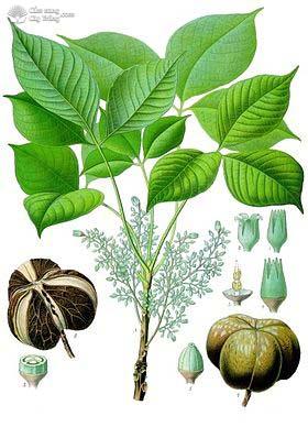 Đặc điểm hình thái cây cao su