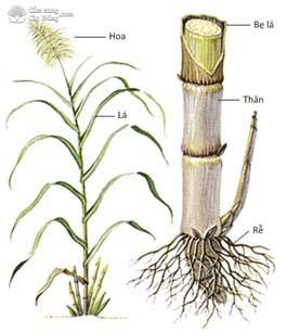Hình thái cây mía