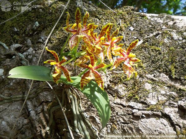 Hồ điệp Ẩn (Phalaenopsis mannii)