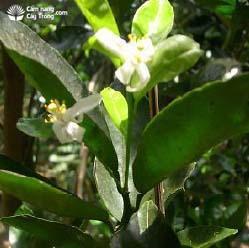 Hoa cam sành