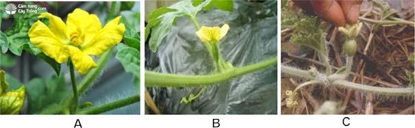 (A) Hoa đực; (B) Hoa cái; (C) Úp nụ dưa hấu (thụ phấn nhân tạo).