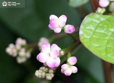 Hoa mồng tơi
