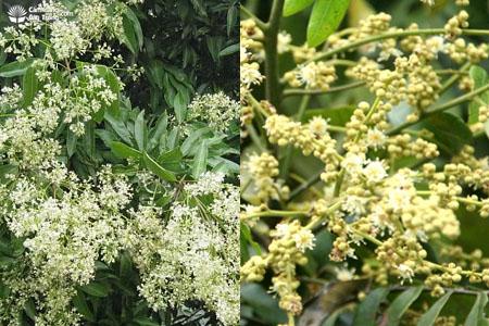 Hoa vải và hoa nhãn