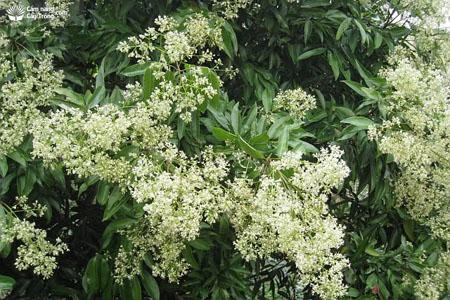 Hoa cây vải